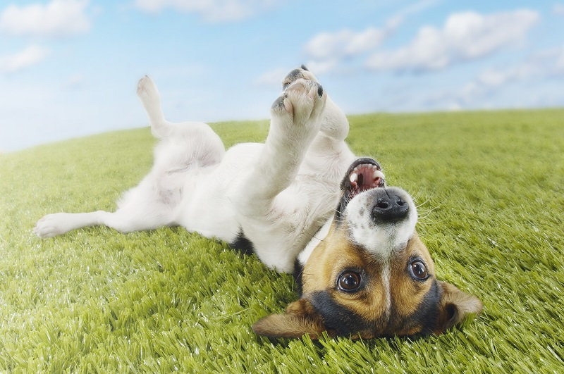 Jack russell terrier lying on back in grass